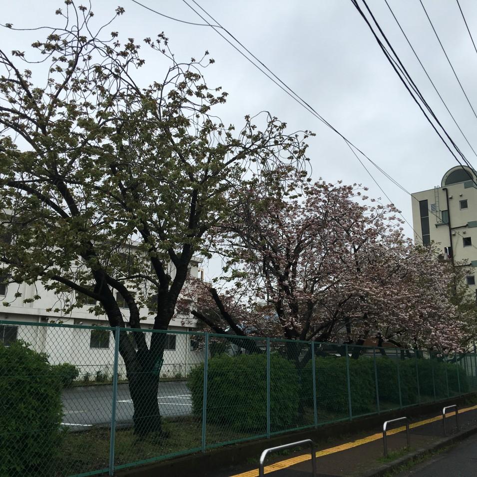 弘明寺留学生会館の さくら並木