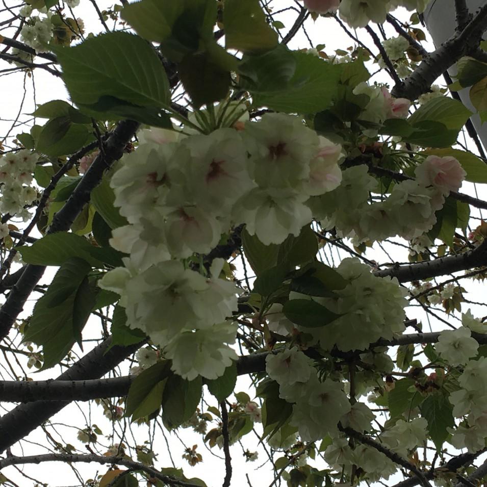 淡い緑の花が咲く 鬱金桜
